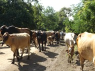 Cows frequently cause cars to pull to the side or stop in the middle of the road so to allow the herd to pass. (Nicaragua)